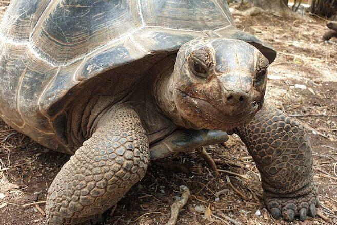 Alabra-Tortoise-in-Antigua