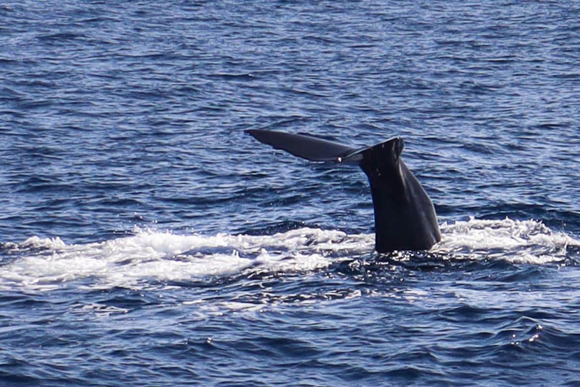Whale tail in the sea